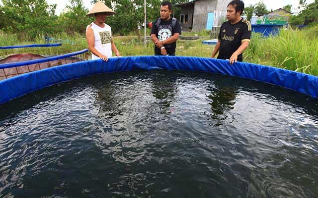 1. Budidaya Ikan Gabus Menggunakan Kolam Terpal