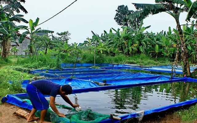 1. Cara Budidaya Ikan Gurame Kolam Terpal