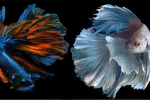 1. Pilih Indukan Ikan Cupang