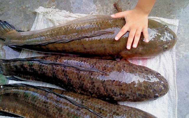 2. Pemilihan Induk Ikan Gabus