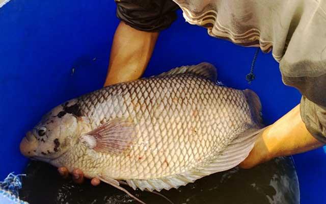 2. Pemilihan Induk Ikan Gurame
