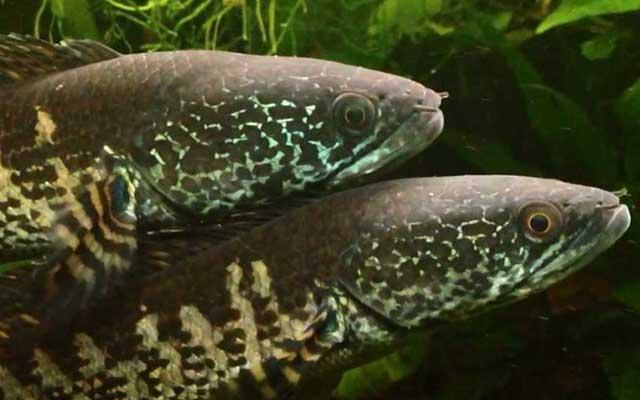3. Proses Pemijahan dan Penetasan Telur Ikan Gabus