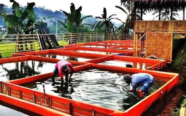 4. Pengembangbiakan Ikan Lele