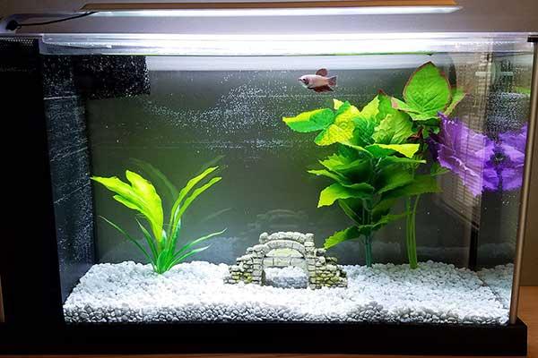 4. Perawatan Ikan Cupang