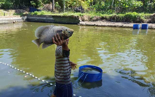 4. Proses Panen Ikan Gurame