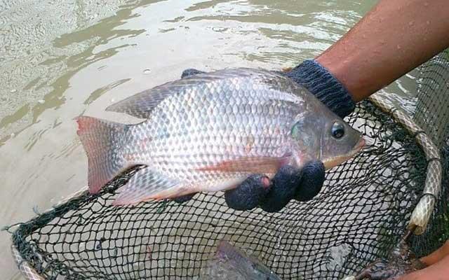 4. Proses Perawatan dan Panen Ikan Nila