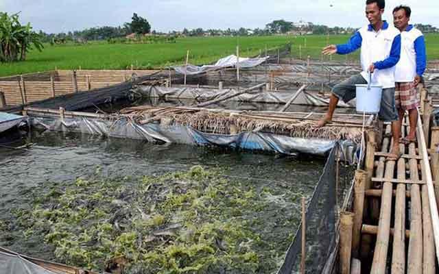 5. Pemeliharaan Ikan Lele