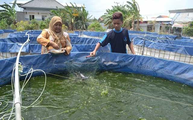 6. Pemberian Pakan Ikan Gabus