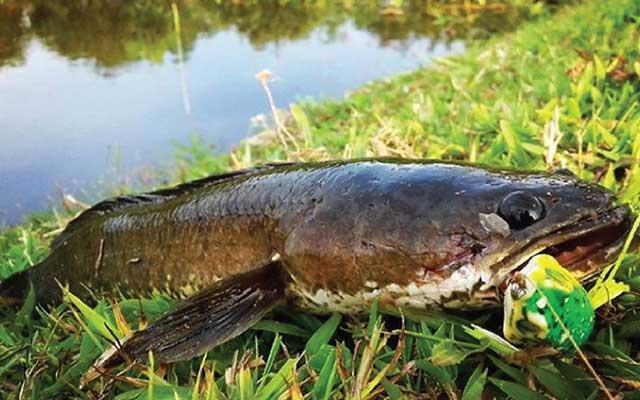 Budidaya Ikan Gabus Kolam Terpal Paling Mudah