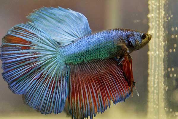 Cara Jitu Budidaya Ikan Cupang Rumahan