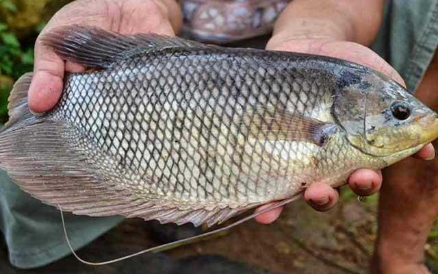 Cara Sukses Budidaya Ikan Gurame
