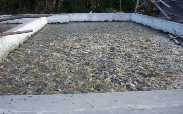 Penebaran Benih Ikan Patin Kedalam Kolam