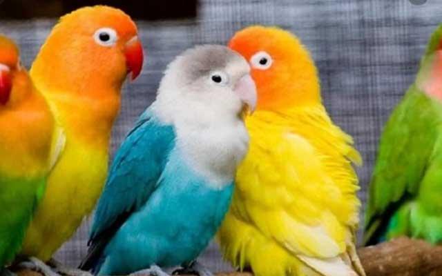 Cara Melatih Mental Lovebird Muda