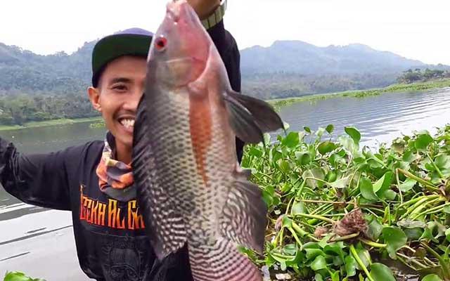 Umpan Ikan Nila Liar Racikan Untuk Memancing