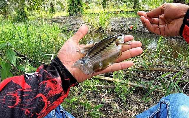 Umpan Ikan Sepat Siam Trik Jitu Memancingnya