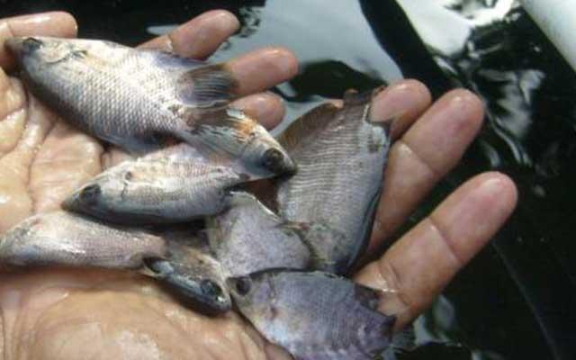 Cara Mempercepat Pertumbuhan Ikan Gurame