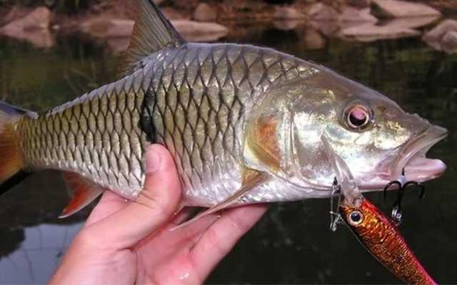 Umpan Ikan Hampala Spot Mancing Terbaiknya