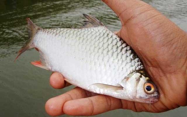 Umpan Ikan Putihan Di Sungai Paling Jitu