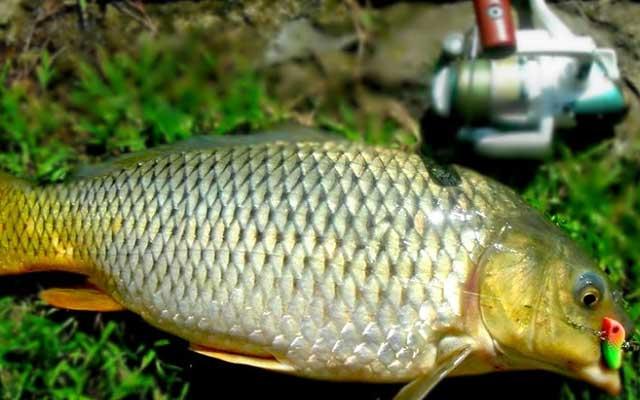 Umpan Ikan Tombro Paling Jitu di Jamin Strike