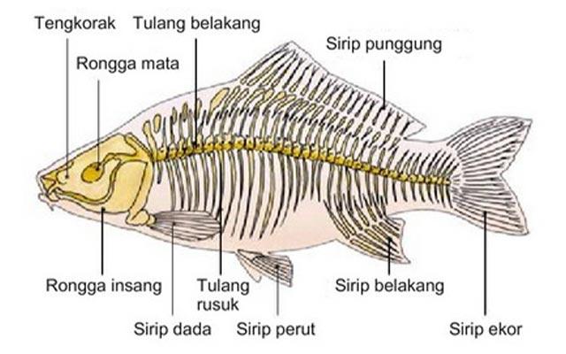 Alat Gerak Ikan Dan Fungsinya