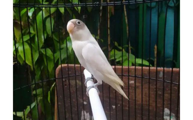 Lovebird Albino MH