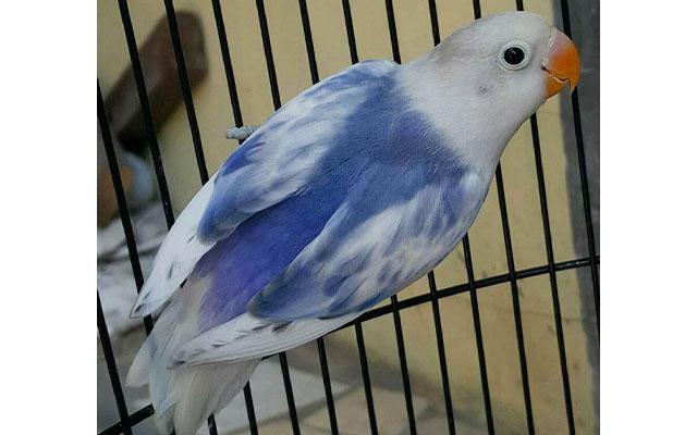 Lovebird BS