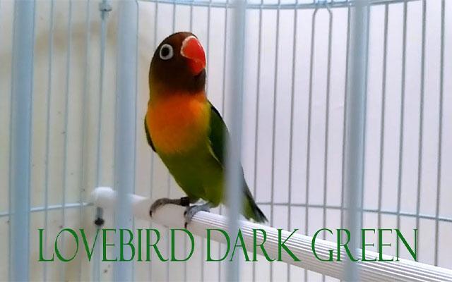 Lovebird Dark Green