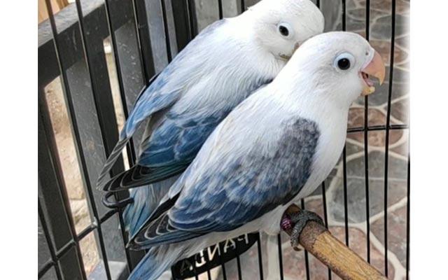Lovebird Euwing Blue