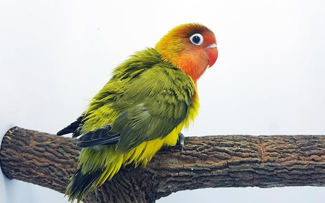 Lovebird Euwing Gold