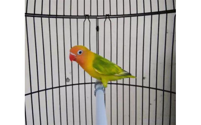 Lovebird Gs