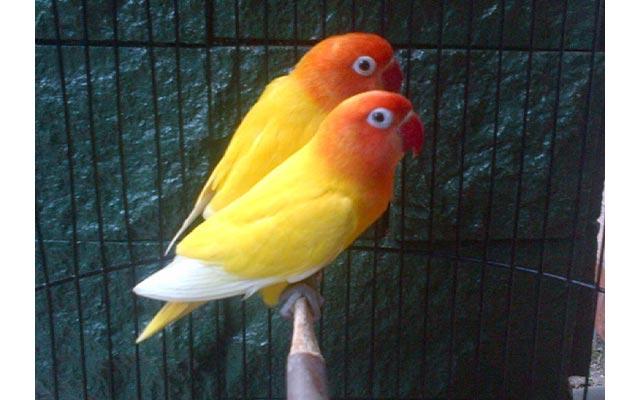 Lovebird Lutino MH