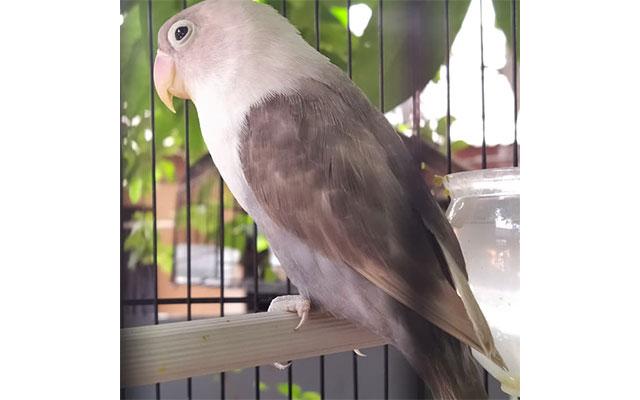 Lovebird Mouve
