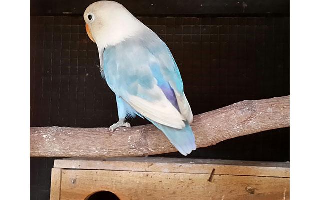 Lovebird Pasbir