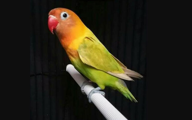 Lovebird Pasjo