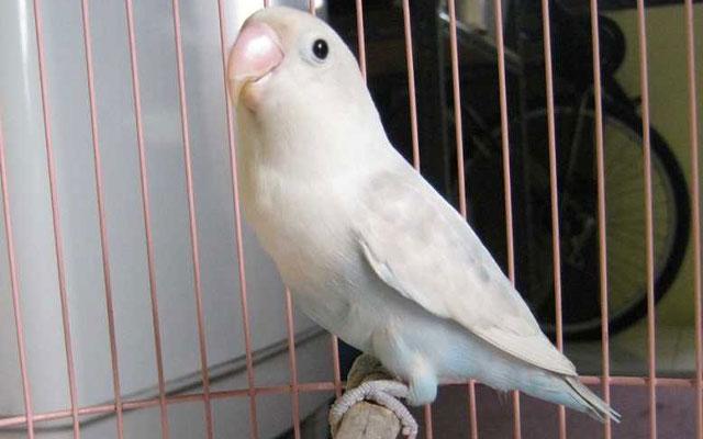 Lovebird Pasput