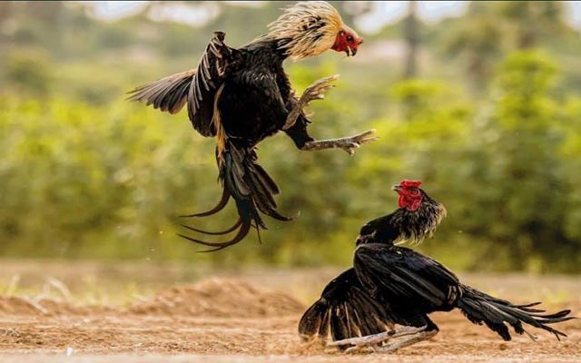 5. Memperlincah Terbang Ayam Bangkok