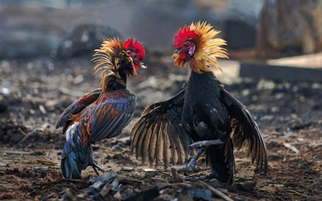 6. Menambah Kekuatan Ayam Bangkok