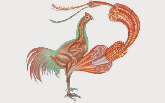 7. Meningkatkan Masa Otot Ayam