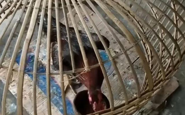 Manfaat Gabah Untuk Ayam Bangkok