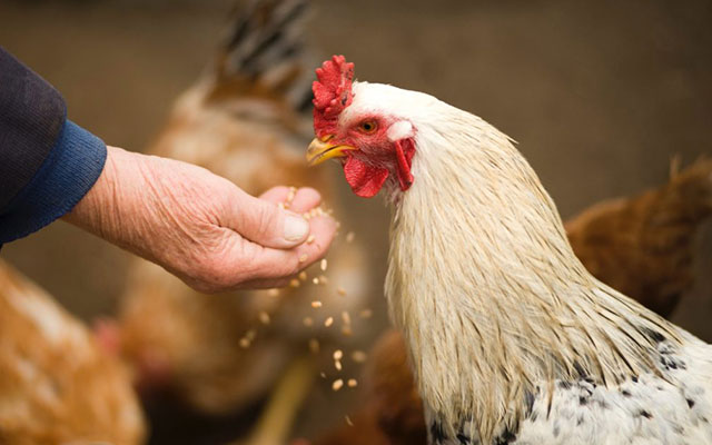 Manfaat Jagung Giling Untuk Ayam Aduan